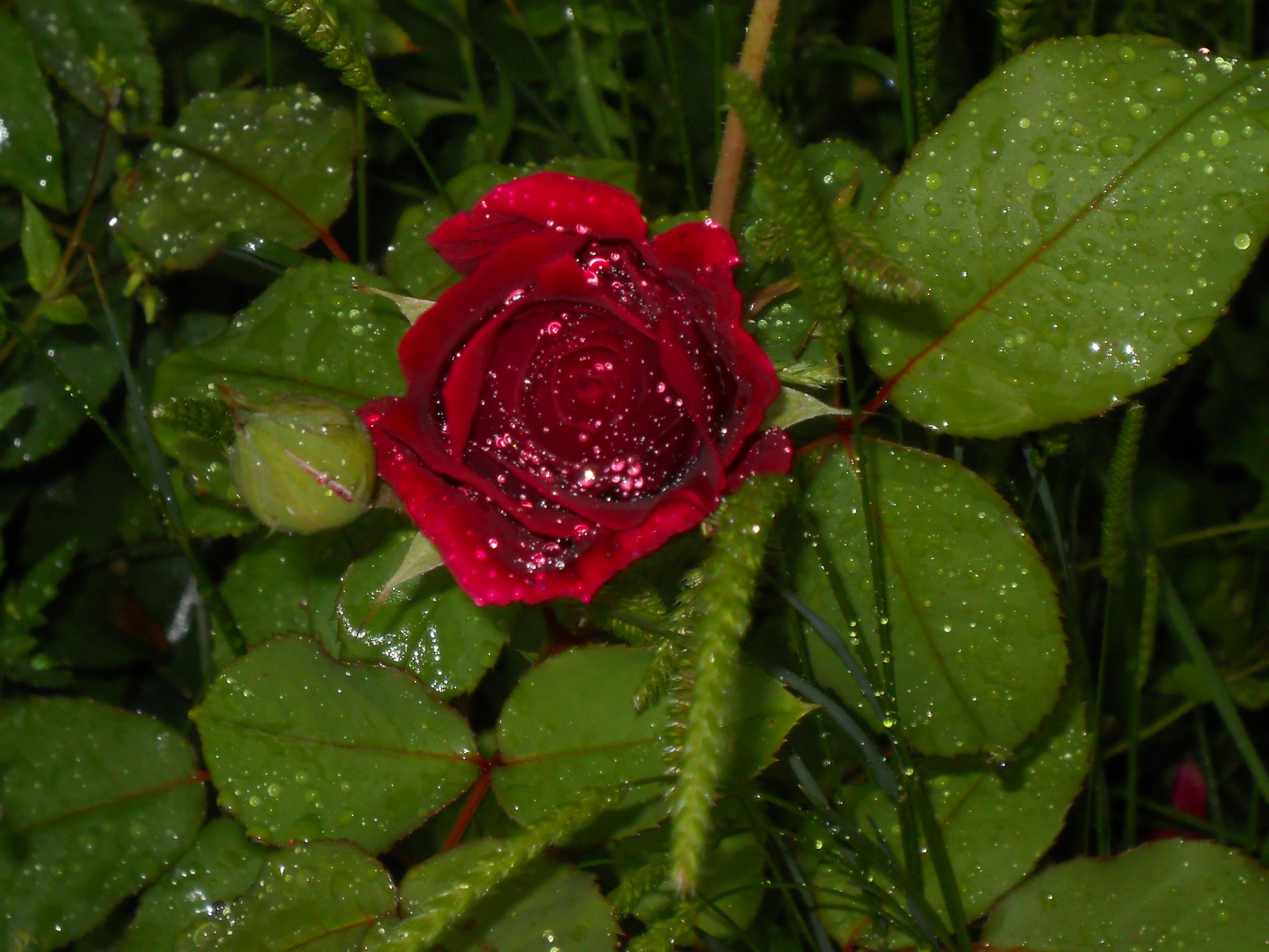 The last Autumn Rose